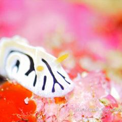 ユキヤマウミウシ|沖縄ウミウシダイビング