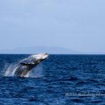 沖縄恩納村ホエールウォッチング|ザトウクジラ