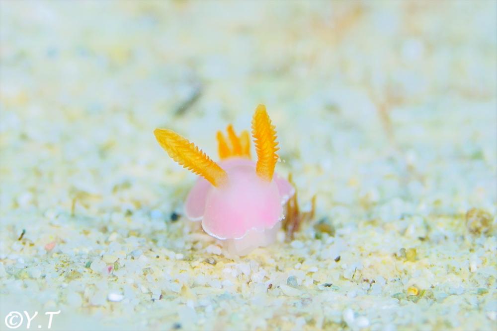 フジムスメウミウシ