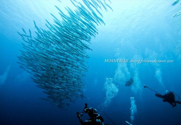 シェブロンバラクーダの群れ|沖縄ダイビング