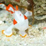 クマドリカエルアンコウの幼魚