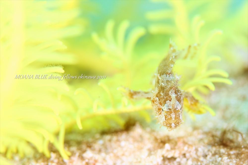 ハナオコゼの幼魚