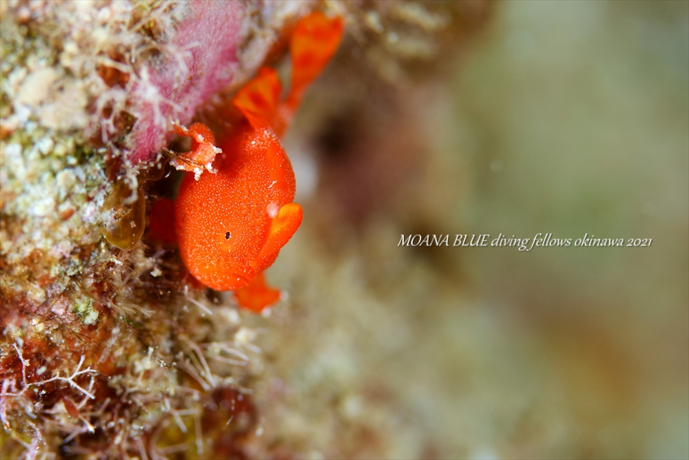 カエルアンコウの幼魚|沖縄水中写真