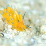 ホリミノウミウシ属の一種|水中写真