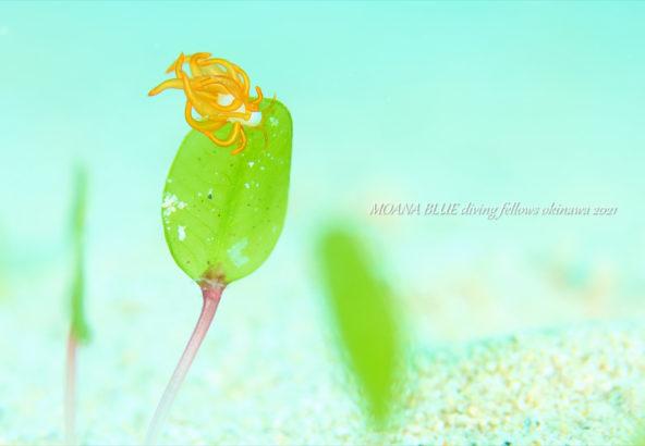 オレンジミノウミウシ|沖縄水中写真
