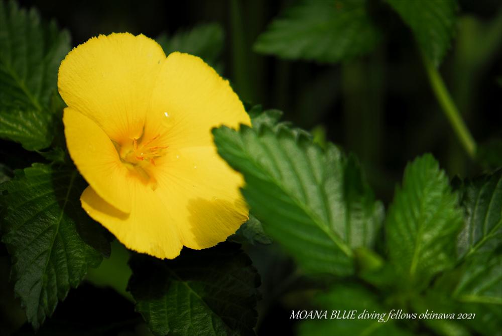 ヤマブキ|花撮