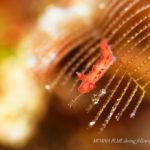 カーネーションウミウシ|水中写真