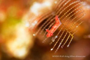 カーネーションウミウシ 水中写真