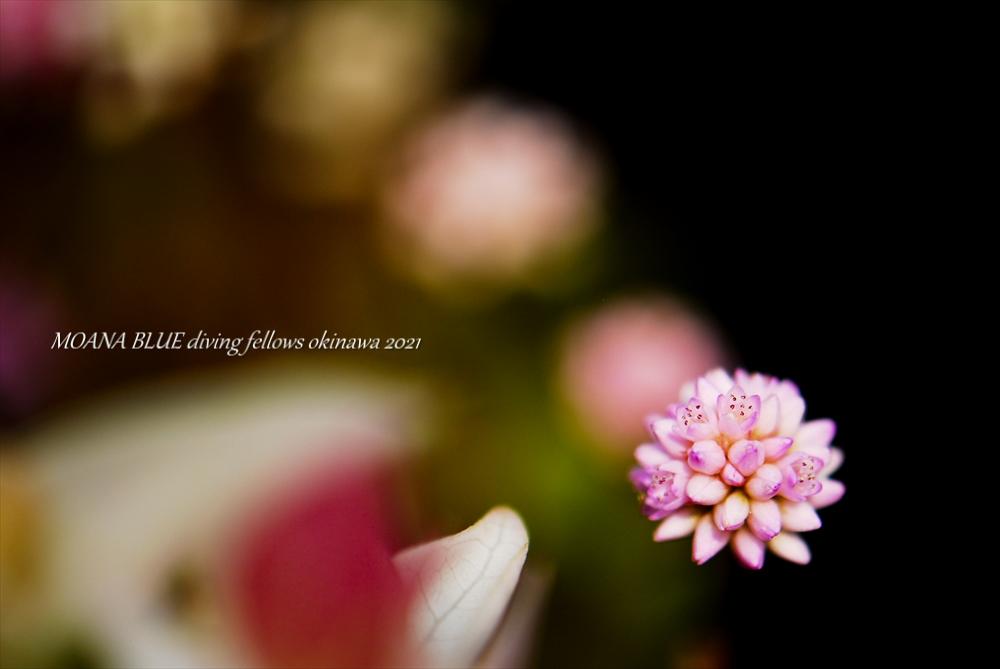 ヒメツルソバ|花撮