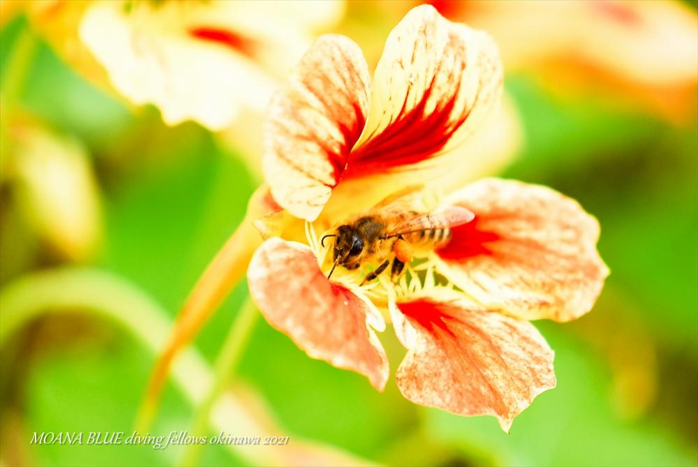 ナスタチウム|花撮