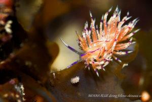 シテンサンドラウミウシ|水中写真