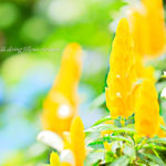 ウコンサンゴバナ|花撮