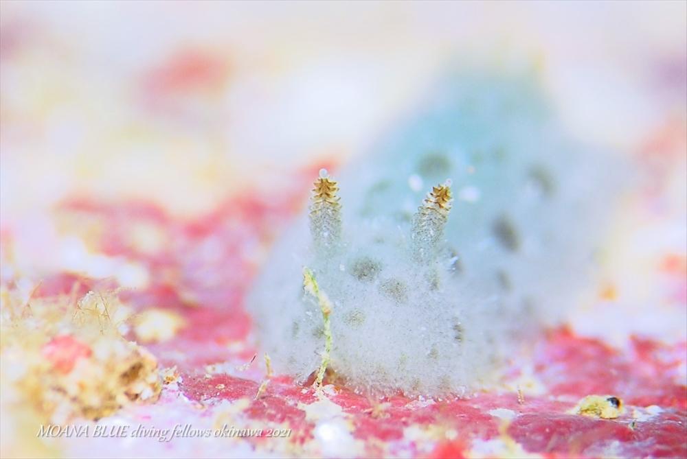 フイリビロードウミウシ|水中写真