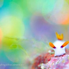 ゾウゲイロウミウシ|水中写真