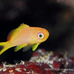 キンギョハナダイ幼魚|水中写真