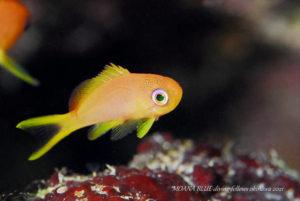 キンギョハナダイ幼魚 水中写真
