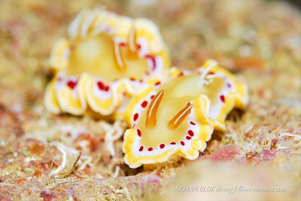 アカテンイロウミウシ|水中写真