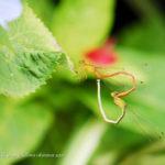 イトトンボ|紫陽花