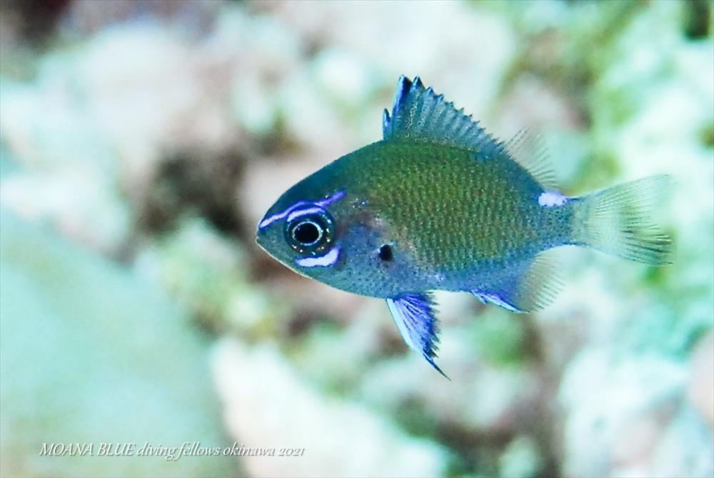 アマミスズメダイ幼魚 水中写真
