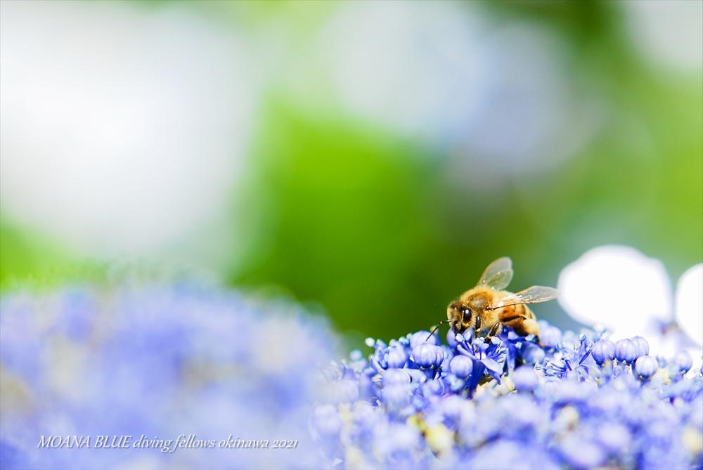 ミツバチ|あじさい