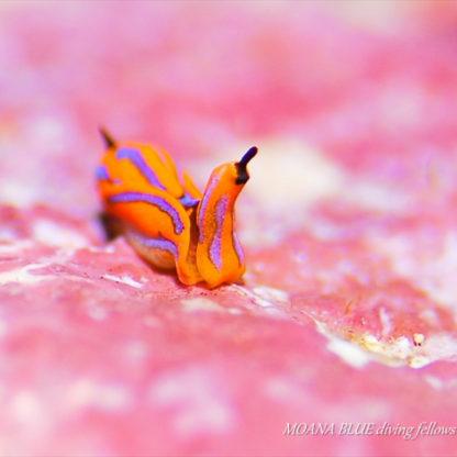 キマダラウミコチョウ|水中写真