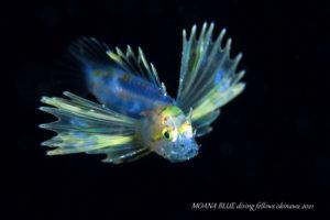 ハナミノカサゴの稚魚