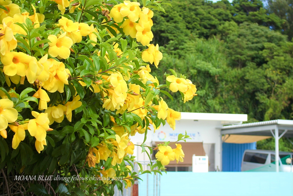 アラマンダ|沖縄花撮