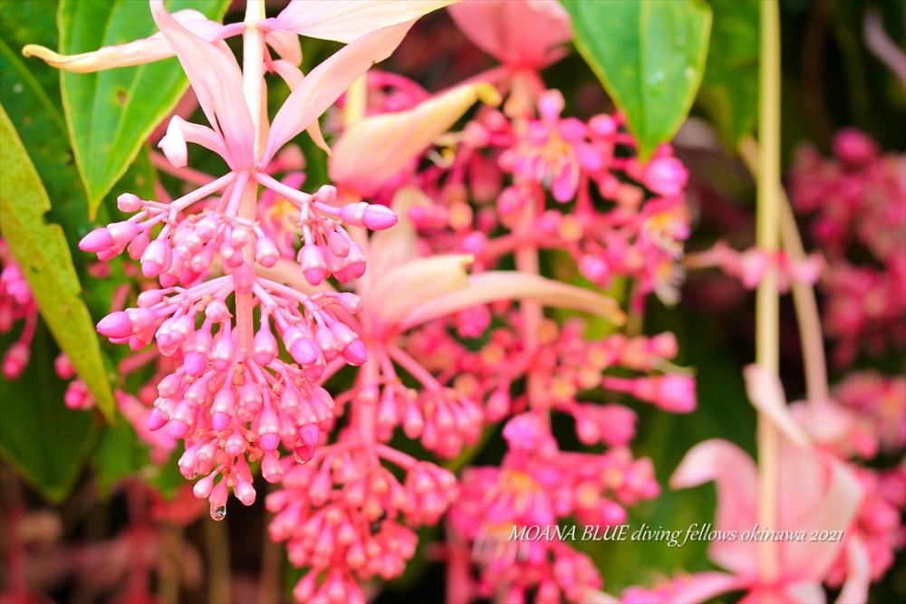 メディニラ・マグニフィカ|沖縄風景写真