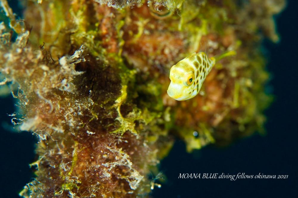 ノコギリハギの幼魚|水中写真