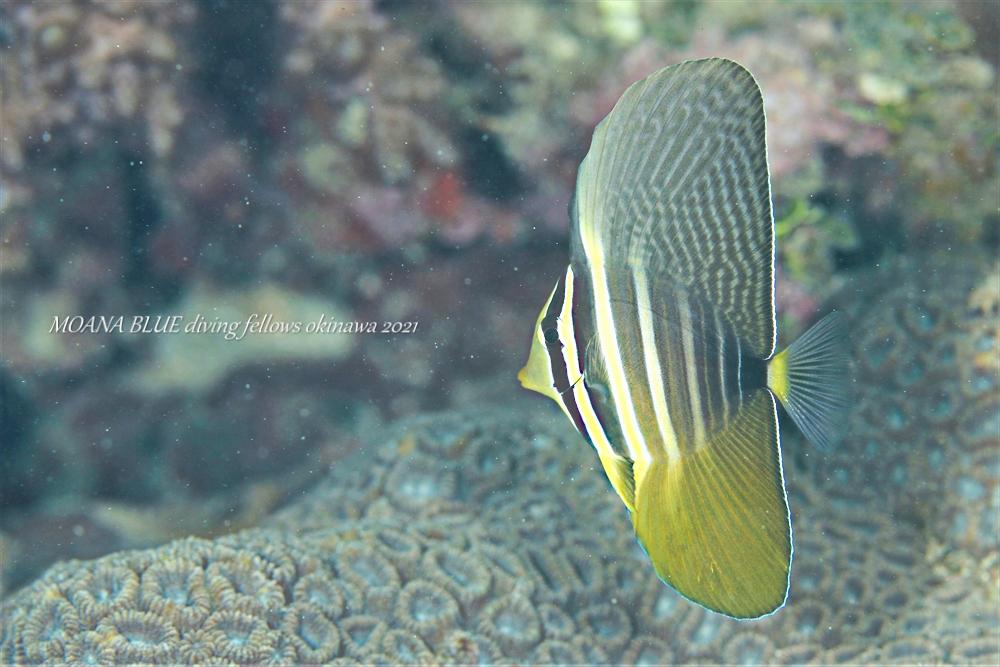 ヒレナガハギ|水中写真