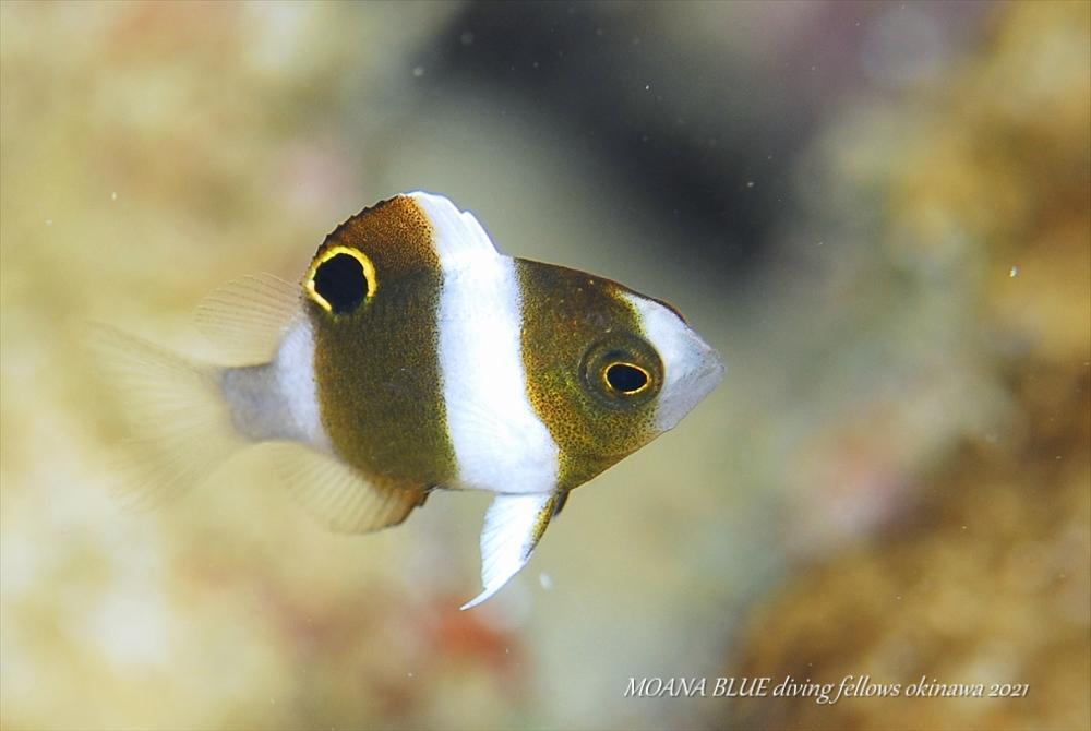 ダンダラスズメダイの幼魚