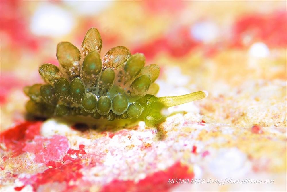 タマミルウミウシ 水中写真