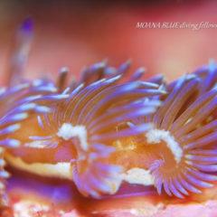 ムカデミノウミウシ|水中写真