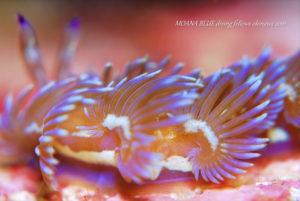 ムカデミノウミウシ 水中写真