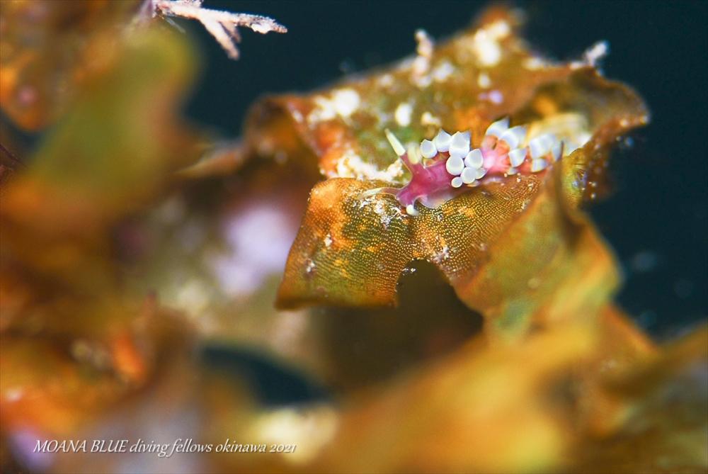 シロタエミノウミウシ属の一種 水中写真