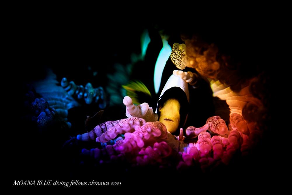 クマノミの幼魚 虹撮