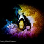 クマノミの幼魚|虹撮