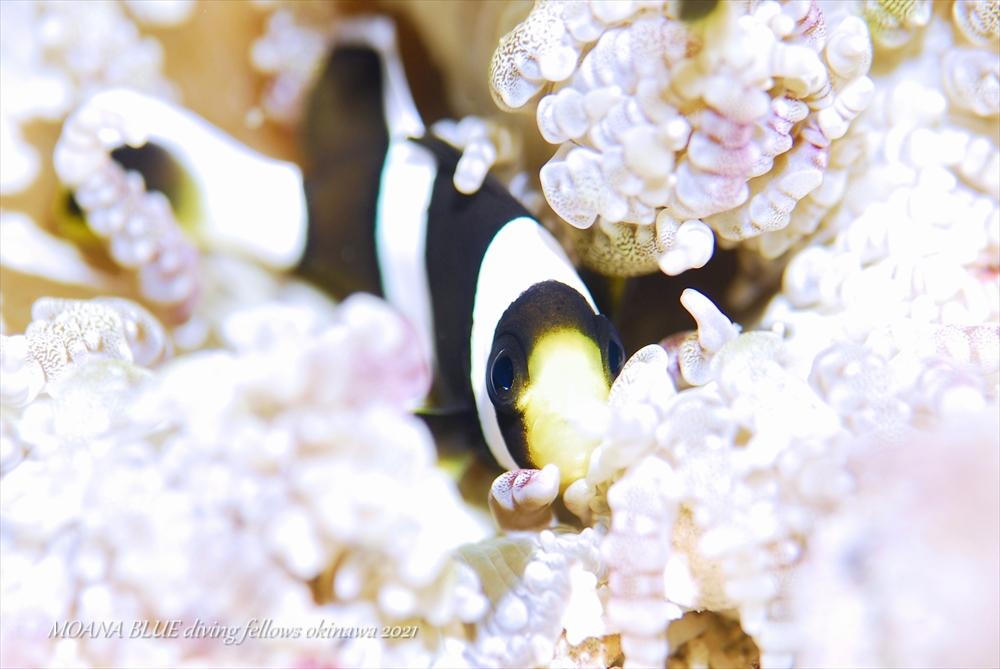 クマノミの幼魚 水中写真