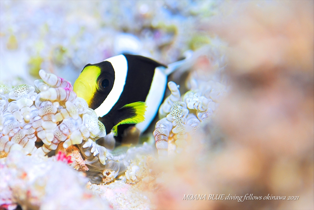 クマノミの幼魚|水中写真