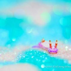 イチゴミルクウミウシ|キラメル撮影