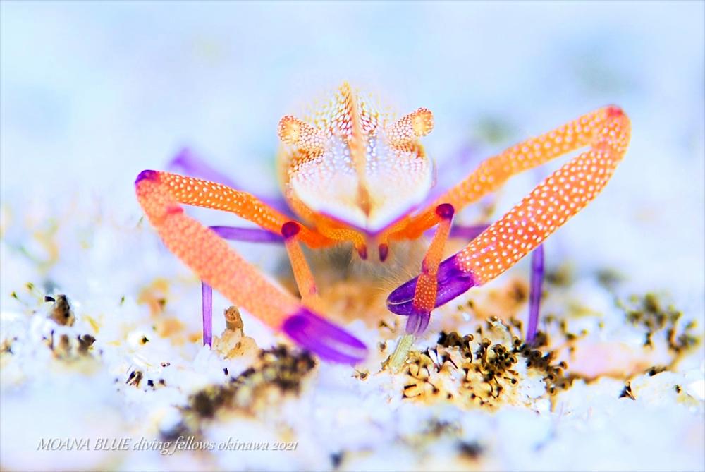 ウミウシカクレエビ|水中写真