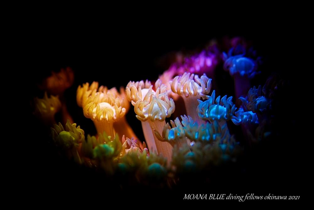 イソギンチャク|虹撮