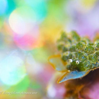 タマミルウミウシ|水中写真
