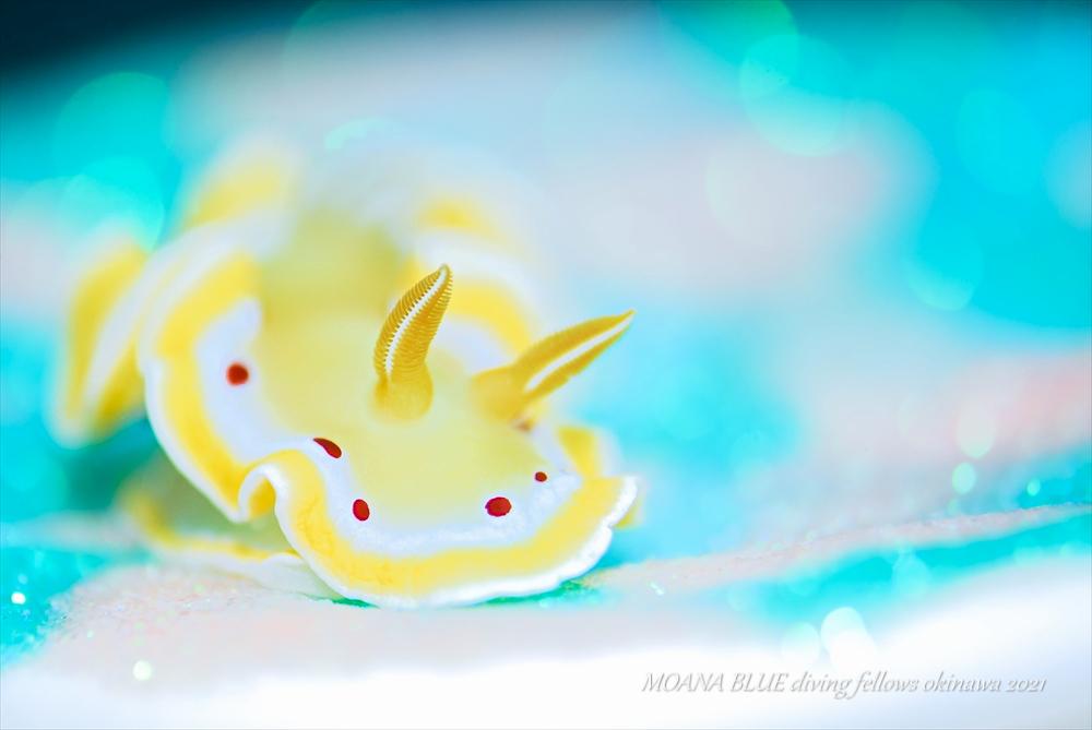 アカテンイロウミウシ|キラメル撮影