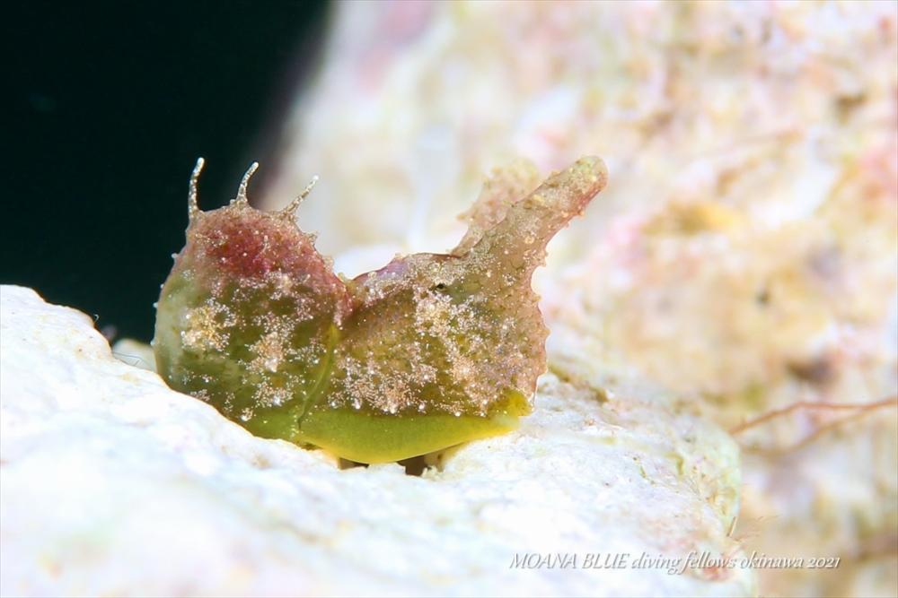 ゴクラクミドリガイ属の一種|水中写真