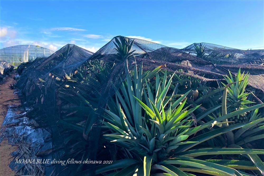 沖縄風景写真|恩納村パイナップル