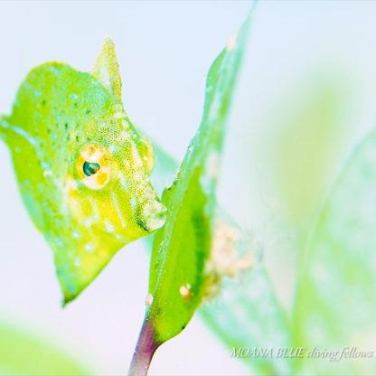 セダカカワハギの幼魚|水中写真